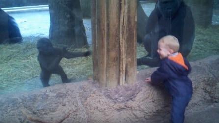 Un bambino e un cucciolo di gorilla: quello che accade è davvero speciale