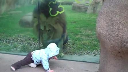 Il bambino è vicinissimo al leone: guardate come reagisce il grosso felino