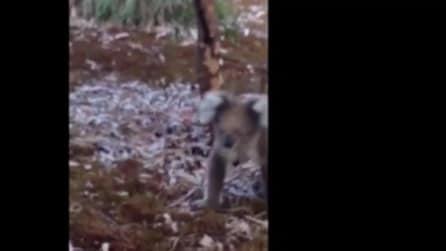 Il cucciolo di koala smarrito scambia un turista per sua madre