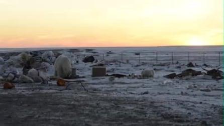 """L'orso polare che rovista tra rifiuti umani: WWF mostra la """"fotografia"""" del pianeta"""
