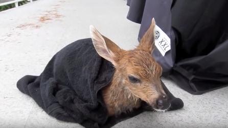 Trova un cerbiatto in fin di vita nella sua piscina ma quello che accade dopo è commovente