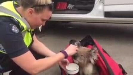 Scampato all'incendio, il koala si lascia coccolare dalla poliziotta