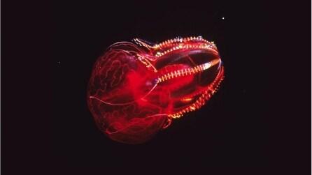 """Un """"mostro"""" nuota negli abissi: la medusa rosso sangue"""