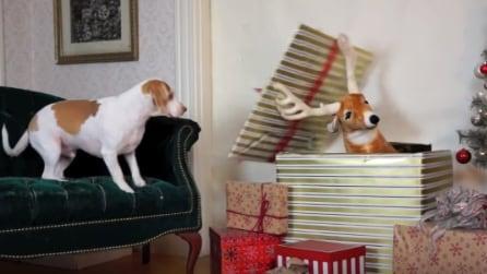Una renna pupazzo sbuca dal grosso pacco, la reazione del cane è bellissima
