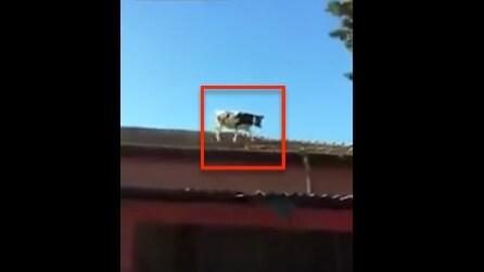 Una mucca sul tetto: non immaginerete mai cosa fa per scendere