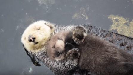 La scena più dolce che ci sia: il cucciolo di lontra dorme in braccio alla mamma