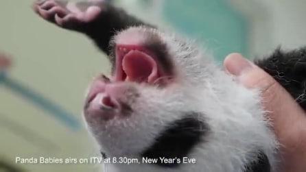 Piccoli panda appena nati, il magico momento in cui si affacciano alla vita