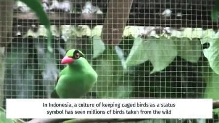 In natura ne esistono meno di 100 esemplari: ecco come verrano salvate le gazze verdi