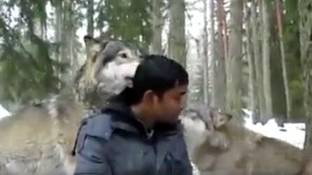 Due lupi arrivano alle sue spalle, lui resta immobile: non crederai a cosa succede