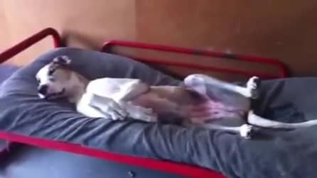Il cane talmente pigro che non riesce ad alzarsi dal letto