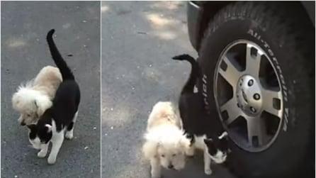 Il gatto guida il cane cieco a casa evitando gli ostacoli, un momento davvero speciale