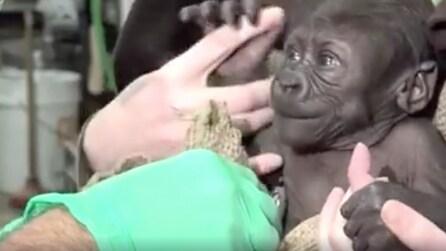 Ha solo 6 settimane di vita: così il baby gorilla inizia a muovere i primi passi