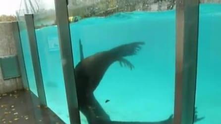 La particolare danza dei leoni marini per l'accoppiamento