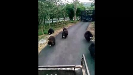 Liberano dei cuccioli di orso da circo: la loro corsa verso la libertà è straordinaria