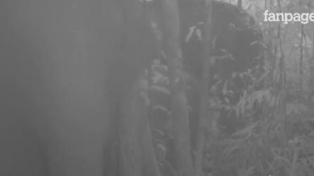 Le telecamere nascoste catturano le rarissime immagini: ecco chi è stato avvistato