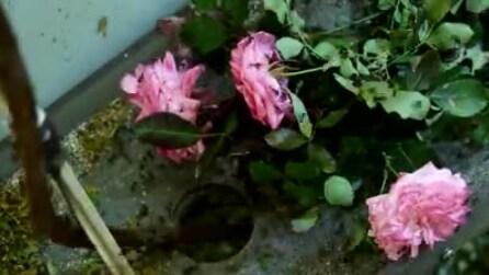 Lascia un mazzo di rose tra le formiche: dopo 5 ore ecco cosa succede