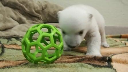 Ha solo due mesi e compie i suoi primi passi: le tenere immagini dell'orsetto polare