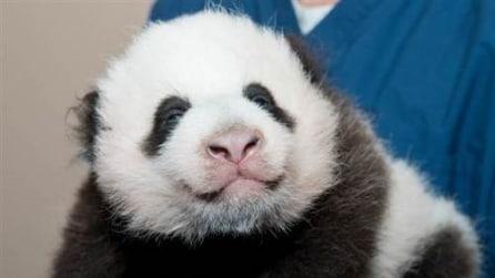 È nato Bei Bei: il panda gigante debutta allo zoo di Washington