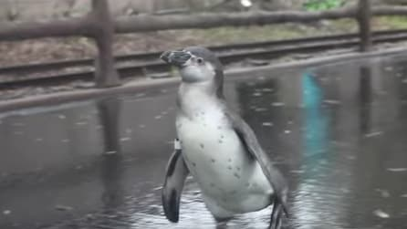 Non è un pinguino come tutti gli altri: ecco cosa fa