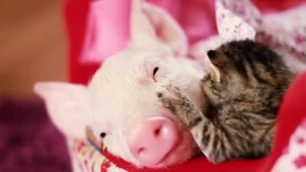 Il maialino salvato stringe amicizia con un gatto: le tenere immagini
