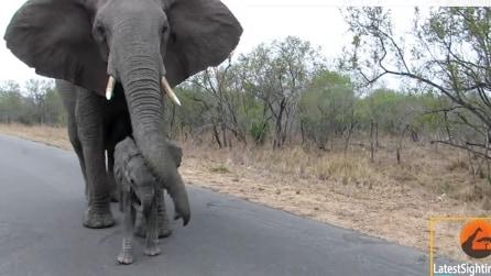 L'elefantino si avvicina ai turisti: la mamma reagisce e lo protegge