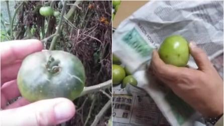 Coglie i pomodori ancora verdi e li avvolge nella carta di giornale, il motivo è geniale
