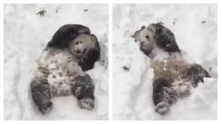 Il panda che impazzisce di gioia quando vede la neve