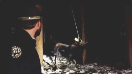 Il cervo ha le corna incastrate nell'altalena, il momento della liberazione è drammatico