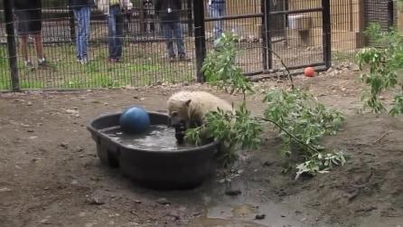 Il tenero momento di gioco di un cucciolo di orso polare incanta i visitatori dello zoo