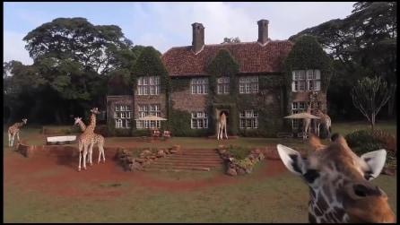 Giraffe Manor, colazione con le giraffe nell'hotel di Nairobi