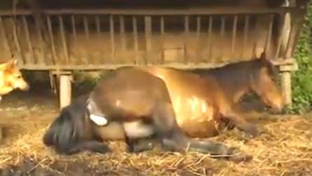 La cavalla si accascia al suolo e dà alla luce il puledro, l'emozionante momento del parto