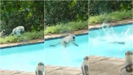 Festa in piscina fra scimmie, imperdibile il tuffo a palla di cannone