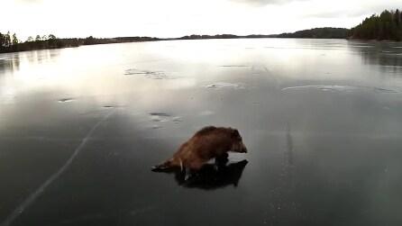 Vedono un cinghiale intrappolato sul ghiaccio: ecco cosa fanno i pattinatori