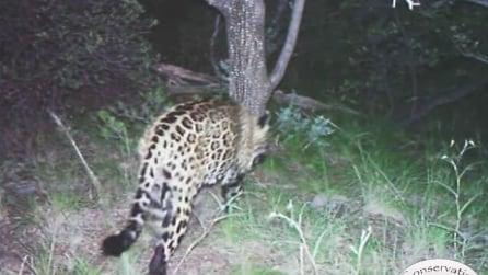 Immagini rarissime, il giaguaro che è stato filmato non è come tutti gli altri