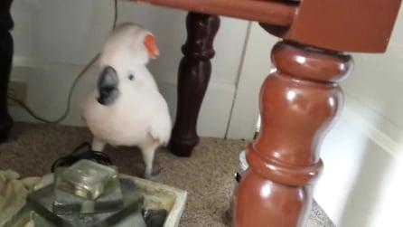 Vuole portare il pappagallo dal veterinario: ma la reazione del volatile è esilarante