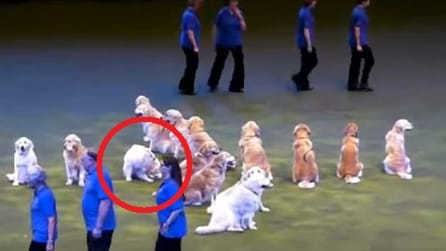L'esibizione di questi cani è fantastica ma quello a sinistra farà impazzire il pubblico