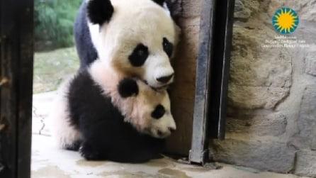 La prima passeggiata del panda Bei Bei insieme alla mamma