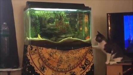 Il gatto affamato vuole mangiare il pesce nell'acquario, il suo tentativo è esilarante