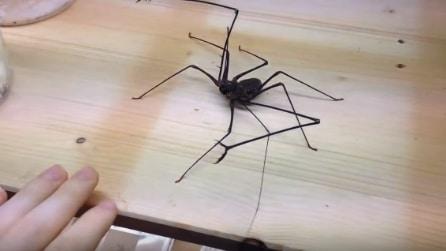 Avvicina la mano: ecco cosa fa l'enorme ragno frusta