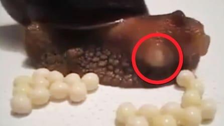La lumaca depone le uova: le affascinanti immagini