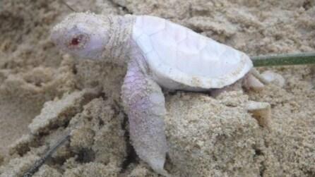 Un raro incontro: la nascita della baby tartaruga albina