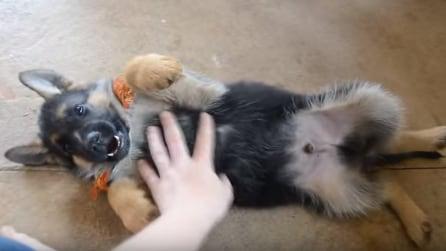 Il cucciolo di pastore tedesco che ama i grattini sulla pancia: adorabile!