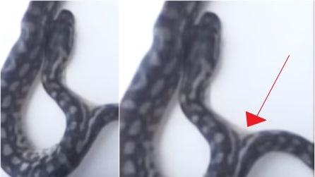 Si schiude l'uovo e l'addestratore di serpenti non può credere ai suoi occhi