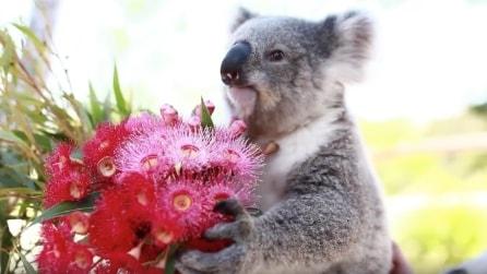 Il piccolo koala festeggia il suo primo San Valentino
