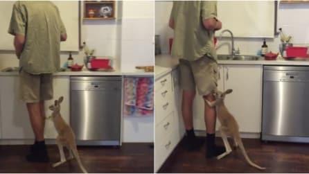 Il piccolo canguro vuole il latte ed ecco cosa fa per averlo