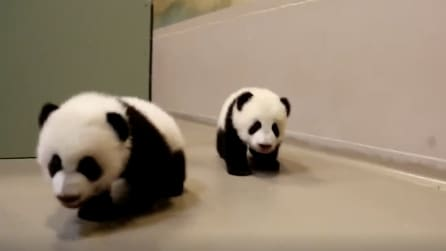 Imparare a camminare: i due cuccioli di panda muovono i loro primi passi