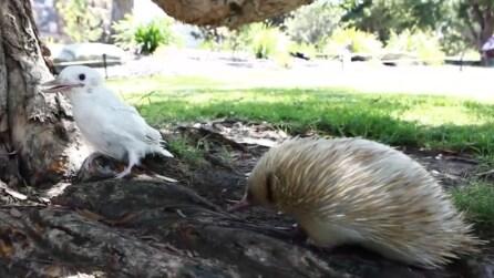 I due amici albini: una tenera amicizia tra animali