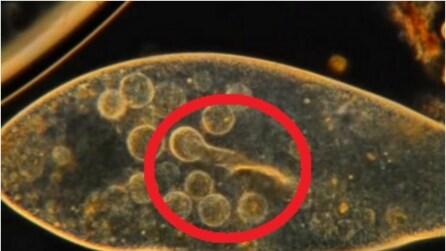 Ecco come si nutre un protozoo: un processo davvero affascinante