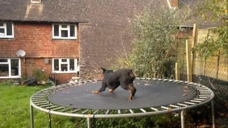 Il cane sale sul trampolino e inizia lo spettacolo