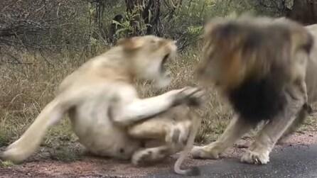 Comanda la leonessa, avances respinte: scacciato il leone